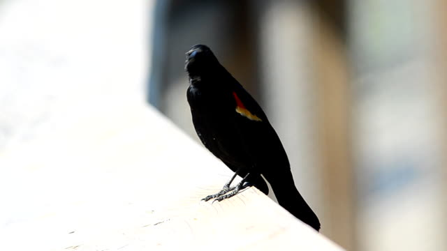 red-winged blackbird auf holz handlauf, ruft - rotschulterstärling stock-videos und b-roll-filmmaterial