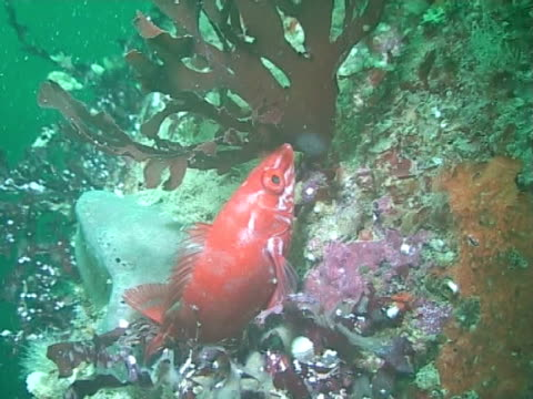 red wrasse - wrasse stock videos & royalty-free footage