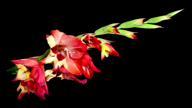 red yellow gladiolus flower blooming timelapse. - gladiolus stock videos & royalty-free footage