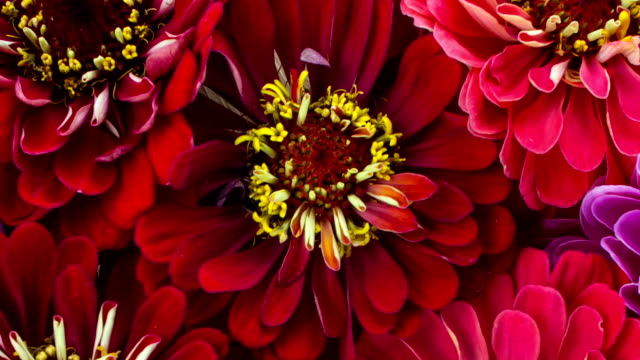 red zinnia flower blooming - wildflower stock videos and b-roll footage