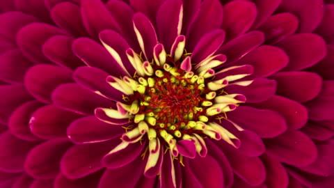 vídeos de stock, filmes e b-roll de zínia vermelha flor florescendo - cabeça da flor