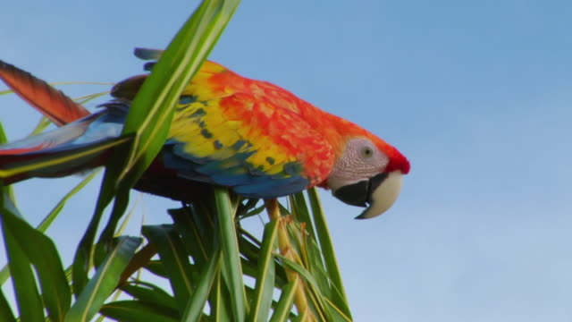 ms la red-and-green macaw (ara chloropterus) on palm tree against sky / tefe, amazonas, brazil - palme stock-videos und b-roll-filmmaterial