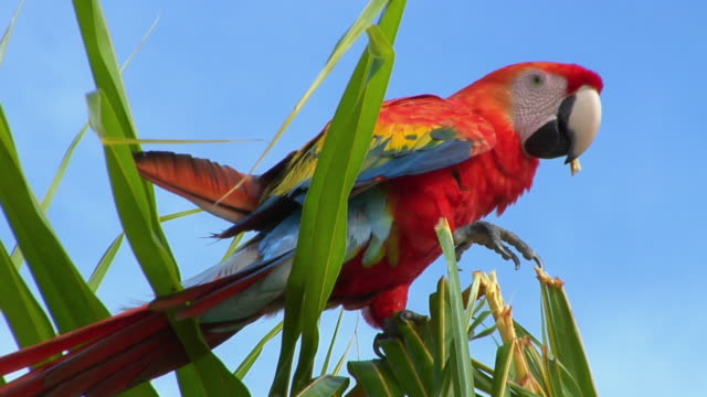 SLO MO MS LA Red-and-green Macaw (Ara chloropterus) on palm tree against sky / Tefe, Amazonas, Brazil
