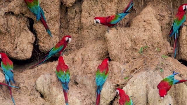 vídeos y material grabado en eventos de stock de guacamayos rojo y verde en una collpa - pluma de ave