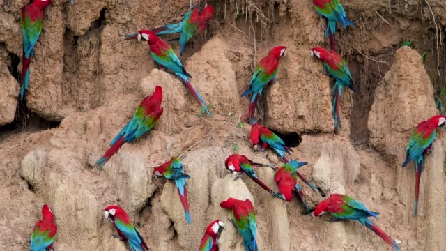 red-and-green macaws flying in front of a clay lick - parrot stock videos & royalty-free footage