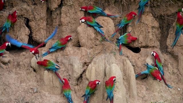 vídeos y material grabado en eventos de stock de guacamayos rojo y verde vuelan en a una collpa de guacamayos - pluma de ave