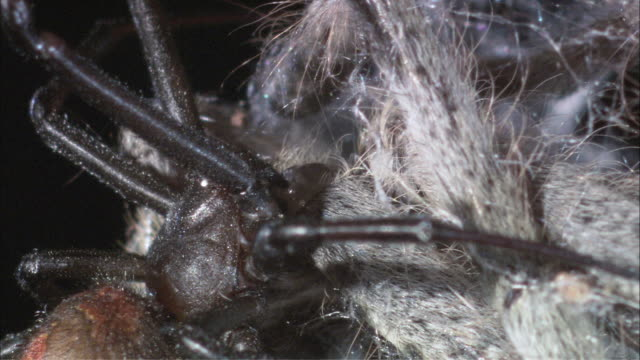 tu red-back spider feeding on huntsman spider / melbourne, victoria, australia - extreme close up stock videos & royalty-free footage