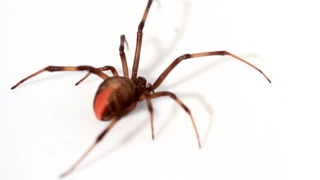 redback spider - black widow spider stock videos & royalty-free footage
