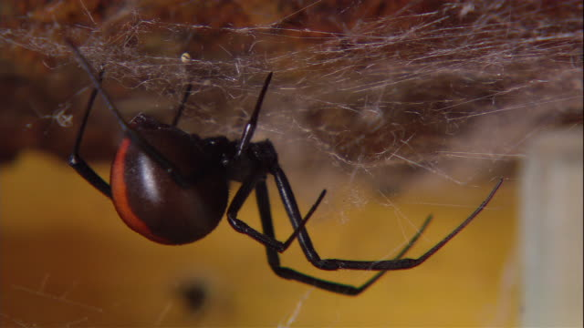 a redback spider waits in its web. - spinnennetz stock-videos und b-roll-filmmaterial