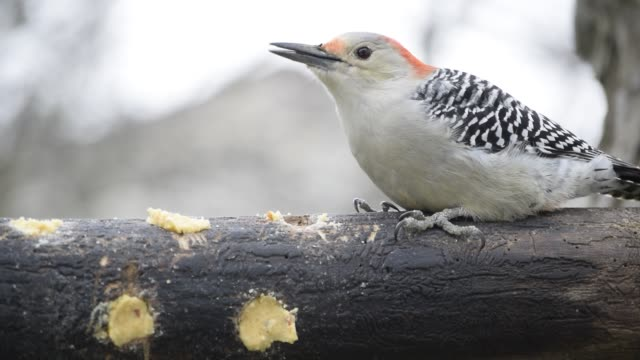 stockvideo's en b-roll-footage met red-bellied woodpecker eating - vachtpatroon
