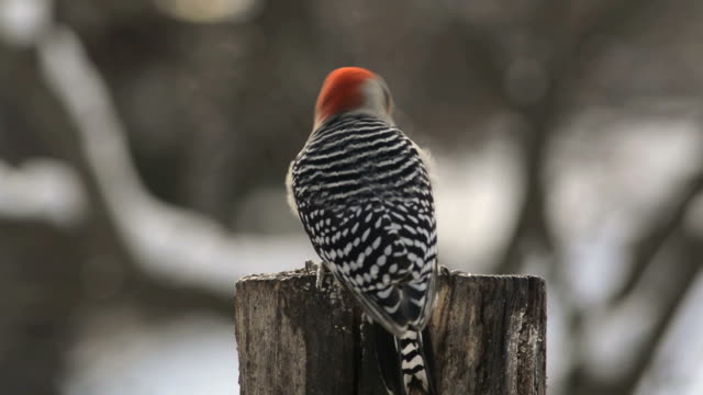 Red-bellied woodpecker in winter