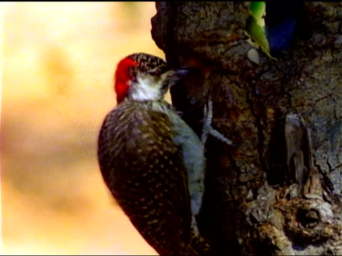 A red-bellied woodpecker pecks at the bark of a tree trunk