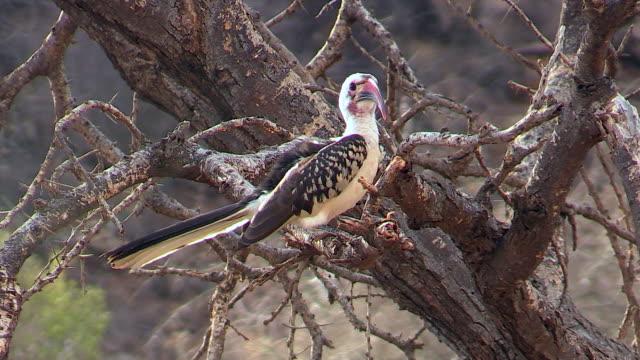 Red-billed Hornbill, Kenya birds