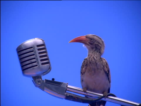 Red-billed hornbill perched on microphone stand opens and closes beak