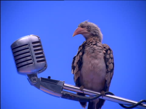 Red-billed hornbill perched on microphone stand