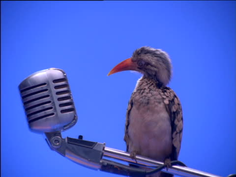 red-billed hornbill perches on microphone stand looking into microphone - microphone stock videos & royalty-free footage