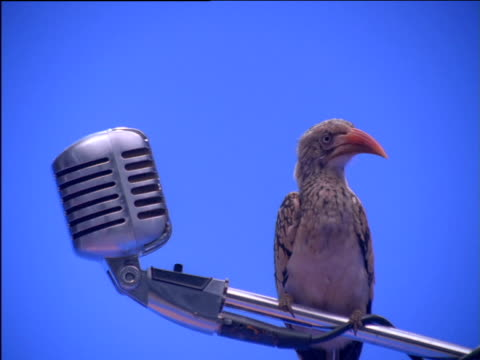 Red-billed hornbill perching on microphone stand looks around