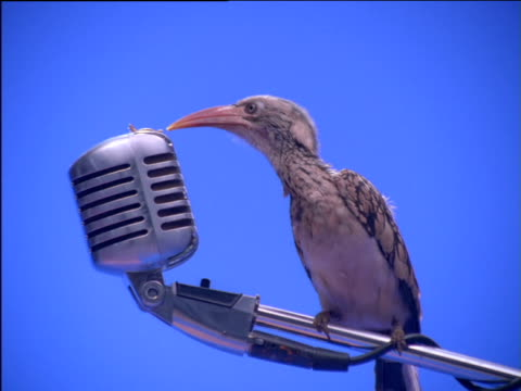 Red-billed hornbill perching on microphone stand pecks seeds from microphone