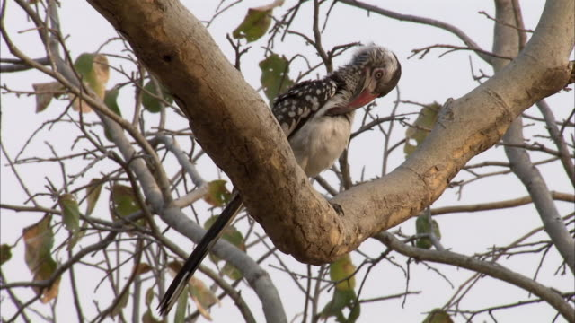 MS Red-billed Hornbill (Tockus erythrorhynchus) preening in tree, Savuti, Botswana