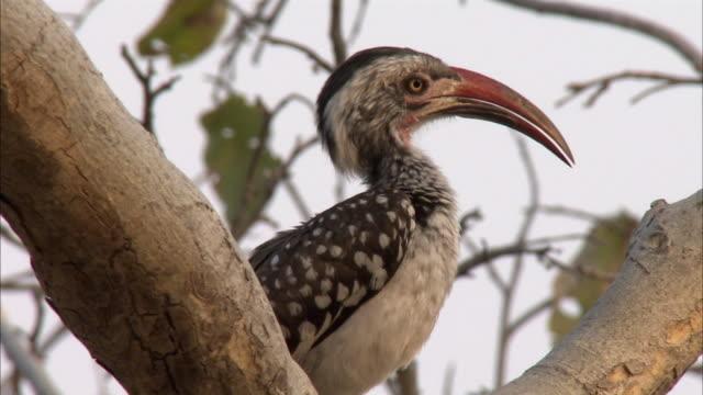 CU Red-billed Hornbill (Tockus erythrorhynchus) preening in tree, Savuti, Botswana
