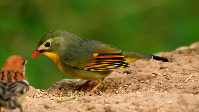 vídeos de stock e filmes b-roll de red-billed leiothrix (leiothrix lutea) feeding on bird seeds - bico