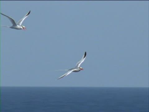 vidéos et rushes de red-billed tropicbirds soar over the ocean. - membre partie du corps