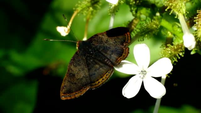 vidéos et rushes de rouge bordé metalmark - des papillons dans le ventre