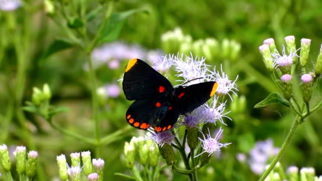 vidéos et rushes de rouge papillon bordé de fée - des papillons dans le ventre