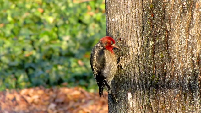 red-breasted sapsucker - woodpecker stock videos & royalty-free footage