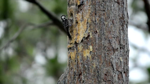 red-cockaded woodpecker entering and leaving  nest insert - pine stock videos & royalty-free footage