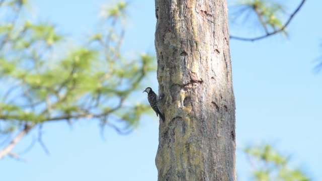 red-cockaded woodpecker on nest tree, feeding grub to chicks though opening - woodpecker stock videos & royalty-free footage
