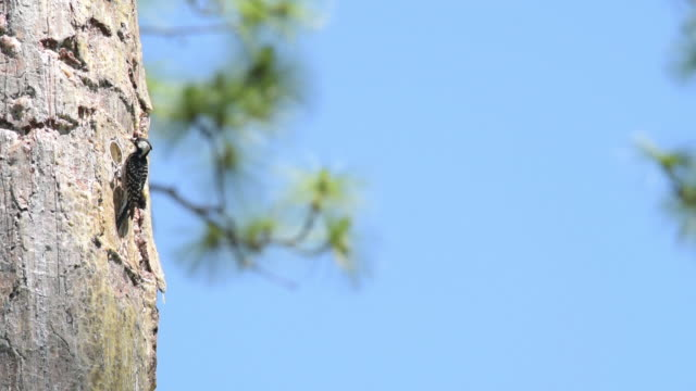red-cockaded woodpecker on sappy nest tree, feeding chicks though opening - woodpecker stock videos & royalty-free footage