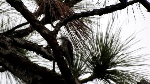 Red-cockaded Woodpecker pecking away on pine branch