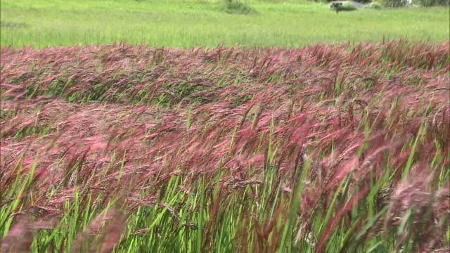 Red-colored ears of rice in Yoshinogari, Japan