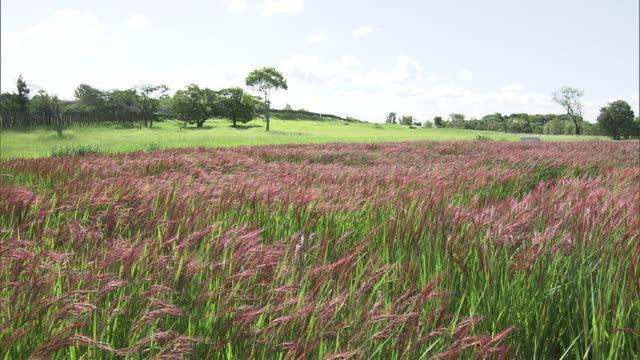 red-colored ears of rice in yoshinogari, japan - 3rd century bc stock videos & royalty-free footage