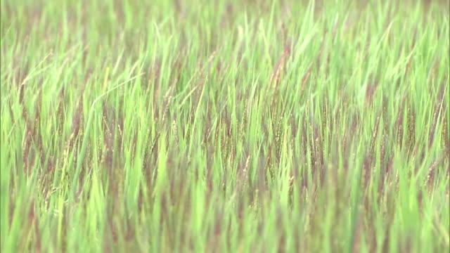red-colored ears of rice in yoshinogari, japan - satoyama scenery stock videos & royalty-free footage