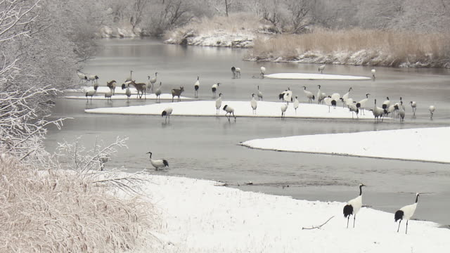 red-crowned crane, kushiro, japan - deer family stock videos and b-roll footage