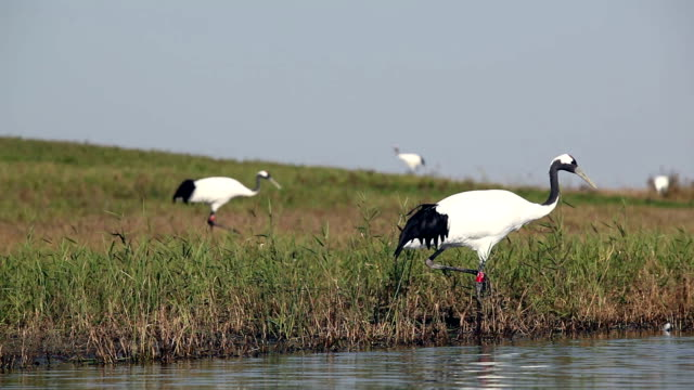 red-crowned crane - animal neck stock videos & royalty-free footage