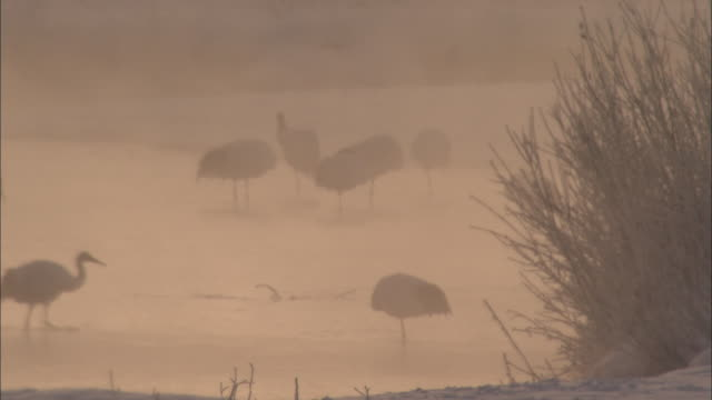 Red-Crowned Cranes Of Kushiro Marsh In Hokkaido