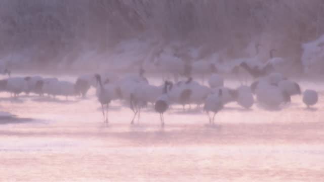 red-crowned cranes of tsurui village - 湿地点の映像素材/bロール