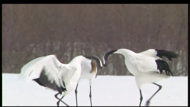 vídeos de stock, filmes e b-roll de red-crowned cranes perform elegant mating ritual, kushiro, hokkaido, japan - acasalamento de animais