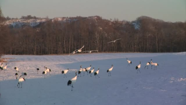 red-crowned cranes (grus japonensis) - bird stock videos & royalty-free footage