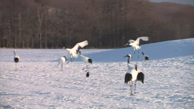 red-crowned cranes (grus japonensis) - 冬点の映像素材/bロール