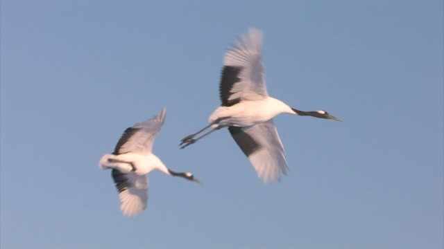 red-crowned cranes (grus japonensis) - gru video stock e b–roll