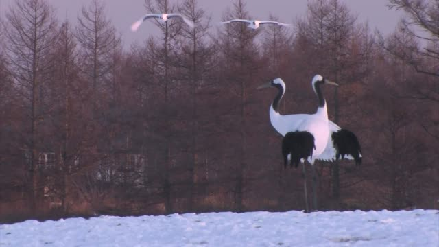 red-crowned cranes (grus japonensis) - crane stock videos & royalty-free footage