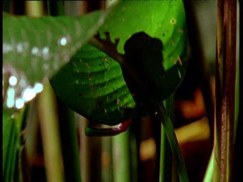 vídeos y material grabado en eventos de stock de red-eye tree frog climbs on leaf, slips and sits on leaf, costa rica - rana arborícola de los ojos rojos