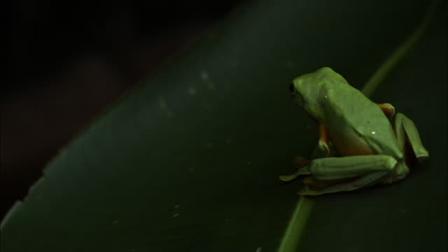 A red-eyed frog leaps from a leaf.