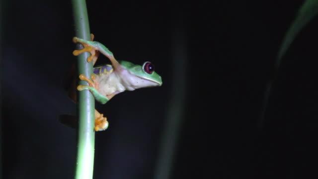 vídeos y material grabado en eventos de stock de red-eyed green tree frog at night - rana arborícola de los ojos rojos