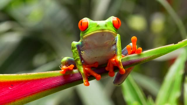 red-eyed leaf frog, la paz waterfall gardens, costa rica - costa rica video stock e b–roll