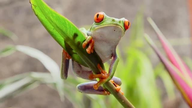 vídeos y material grabado en eventos de stock de red-eyed leaf frog, la paz waterfall gardens, costa rica - rana arborícola de los ojos rojos